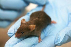 Lab_mouse_baja