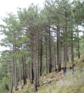 Pinar de pino_incendios