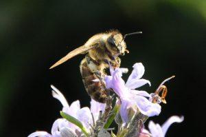 Apis mellifera (Familia Apidae) / Alberto Fereres