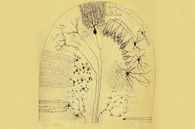 Dibujo de corteza cerebelosa realizado por Santiago Ramón y Cajal en 1904. / Ministerio de Ciencia, Innovación y Universidades