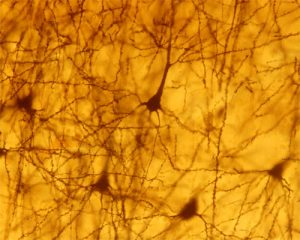Muestra Cajal