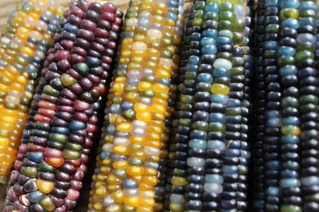 Granos de maíz de diferentes colores