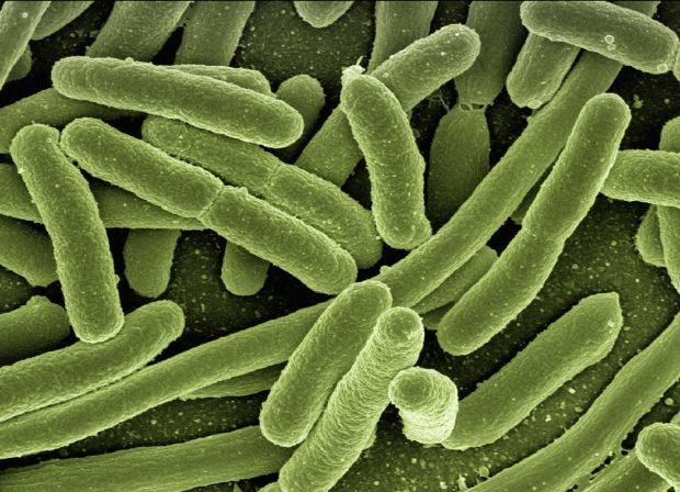 La Escherichia coli es una de las muchas especies de bacterias que pueblan el tracto intestinal humano. / Gerd Altmann -Pixabay