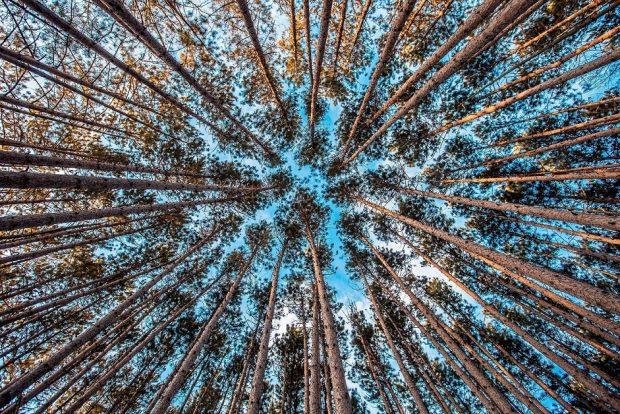 """El fenómeno de la """"timidez de los árboles"""" se puede observar fundamentalmente en los bosques con especies de eucaliptos, pinos y hayas."""