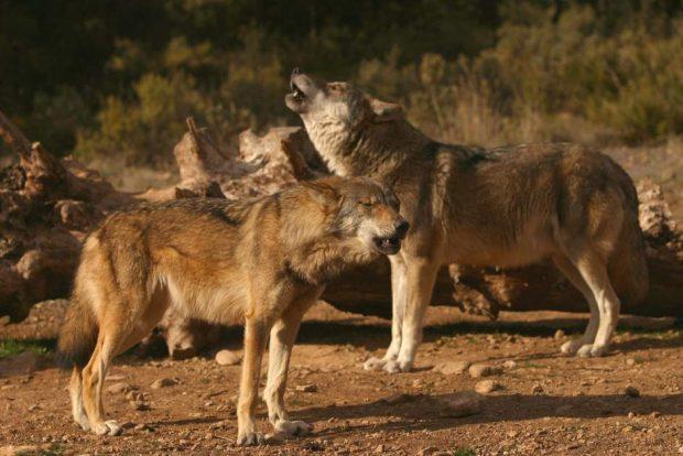 Lobos (EFE)