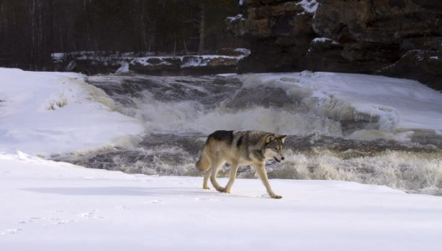 Un lobo (GTRES) Controlled conditions Gray Wolf B2727_227685 B2727 227685 Canis lupus walking Winter snow rapids river rocks USA captive mammal mammals animal animals wildlife north america north american america american usa ZB2727_227685_0033