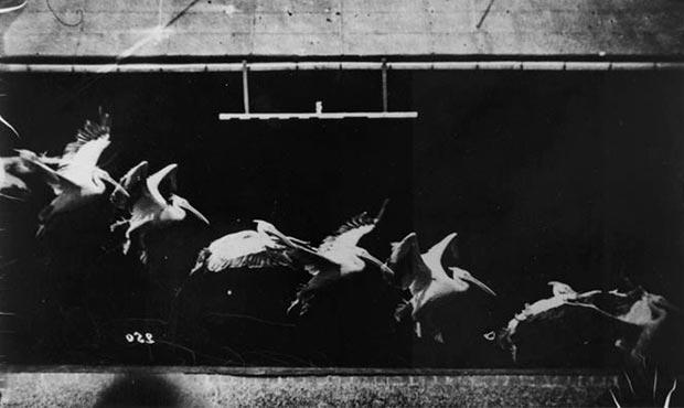 secuencia de pelicanos