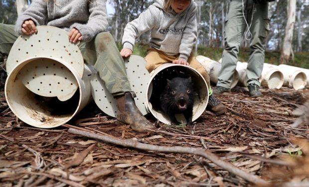 Liberación de demonios de Tasmania (Foto de Aussie Ark)