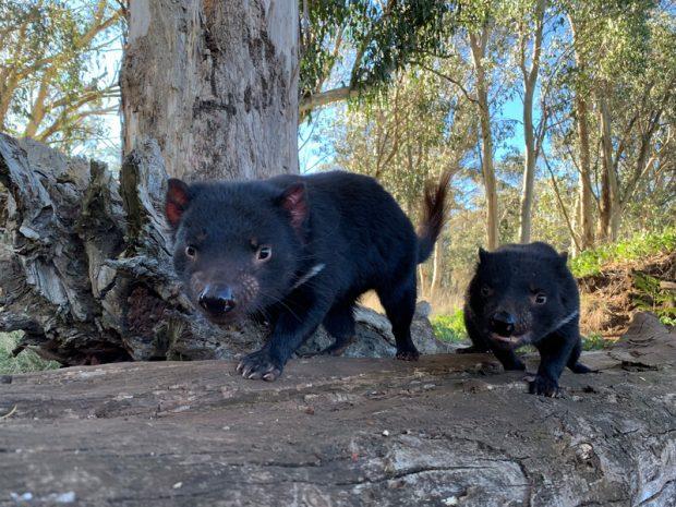 Demonios de Tasmania caminando libres por Australia (Foto de Aussie Ark)