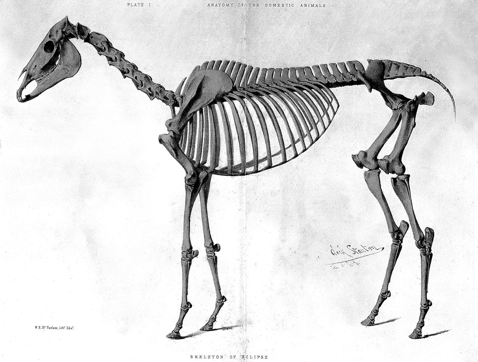 Grabado del esqueleto de Eclipse realizado en 1862 (WIKIPEDIA).