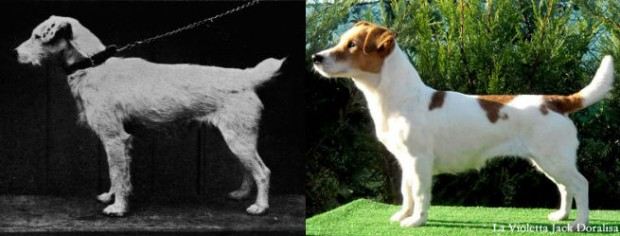 jackrussell-620x401