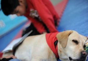 Bea está relajada y atenta a las señales de su adiestradora. La actitud de las perras de lectura ayuda también a que los niños más nerviosos se relajen. (David Sirvent)
