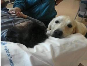 Uno de los perros de YAracan en el Hospital de Torrejón.