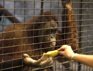 """Más de 3.000 monos son capturados en las selvas africanas y del sudeste asiático todos los años, en relación con el tráfico ilegal de animales. Las organizaciones capturan a algunos de estos monos con vida, pero muchos otros son sacrificados, según el informe """"Monos Robados"""" expuesto durante el XVI encuentro de la Convención sobre el Comercio Internacional de Fauna y Flora (CITES), celebrado en Bangkok. EFE"""