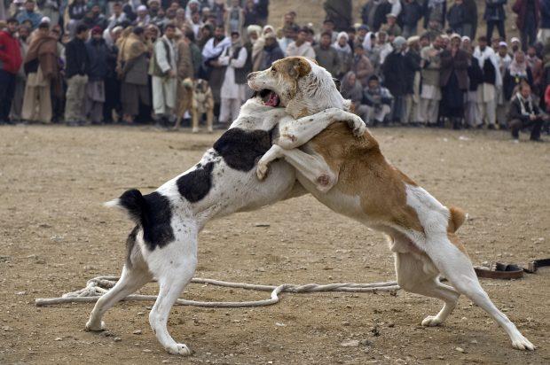 Peleas de perros en Kabul (GTRES)