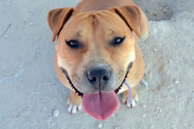 Hoy os quiero hablar de los perros de razas potencialmente peligrosas, que son  perros como cualquier otro a los que su aspecto poderoso les está pasando  ... 92b03de190