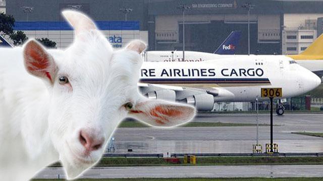 goat_plane1
