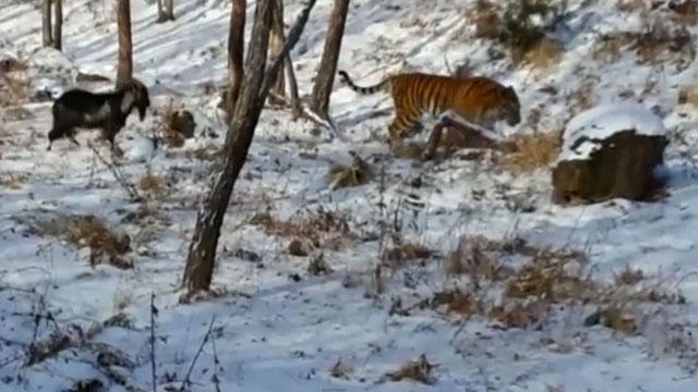 tigre_cabra1b