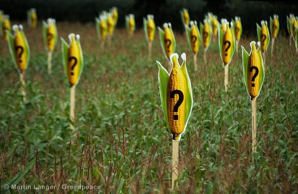 Greenpeace activists mark a maize field with  signs showing corn with a 'question mark' indicating that 1 in 200 maize crops can be genetically contaminated if the draft EU seed directive is passed. Numerous organisations among them Greenpeace demand that the new EU Seed Directive guarantees the purity of seeds sold and planted in Europe instead of tolerating any levels of contamination in them. Symbolbild Saatgut-Verunreinigung und Gen-Mais. Maiskolben mit Fragezeichen auf jeder zweihundersten Maispflanze symbolisieren einen Anteil von 0.5 Prozent gentechnisch verunreinigten Saatguts in Deutschland.