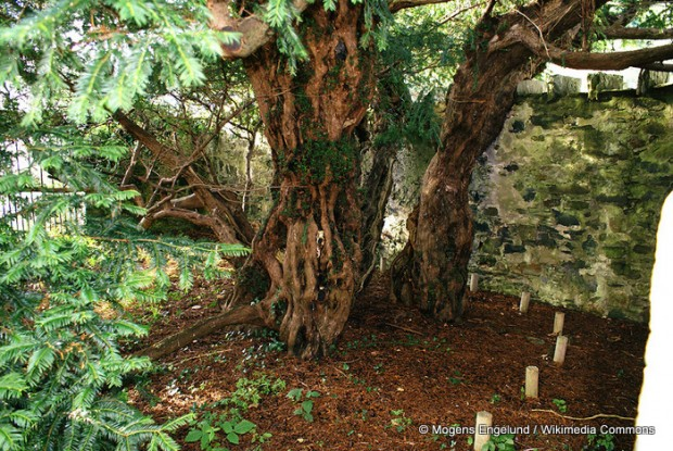 Fortingall-Yew-trunk