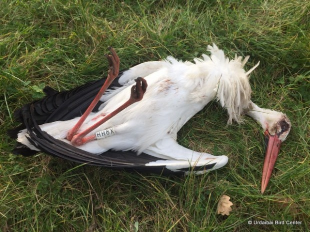 Cigüeña muerta