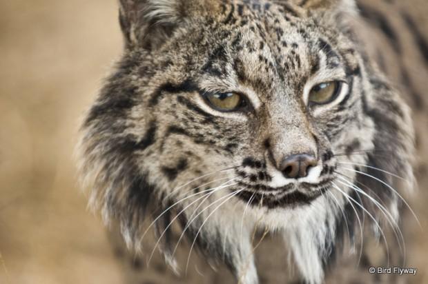 Iberian lynx (Lynx pardinus) in ex situ breeding program in the National Park of Doñana, Spain