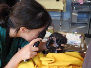Una veterinaria examina a uno de los buitres reintroducidos. Foto: GREFA.