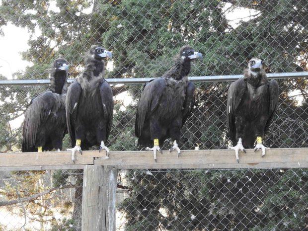 Varios de los buitres negros reintroducidos en la Sierra de la Demanda reposan en un cercado. Foto: GREFA.