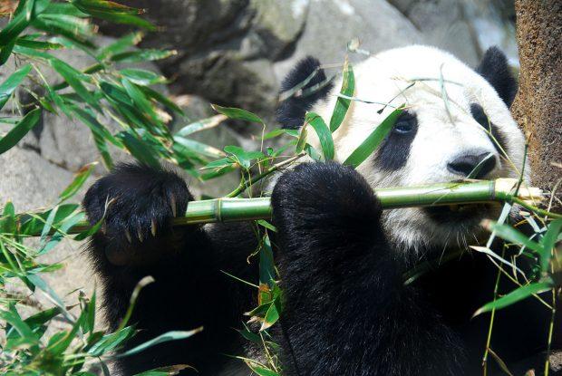 El oso panda ya no está en peligro de extinción según UICN (Foto © F. Revilla / Wikimedia Commons)