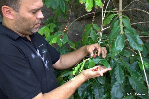 Javier Lugo muestra los frutos del café en una de las plantas que tiene bajo viñedos.