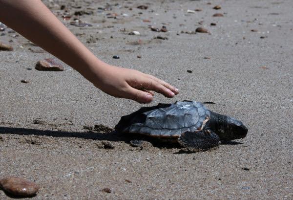 Una de las primeras tortugas liberadas en Almería. © Hombre y Territorio