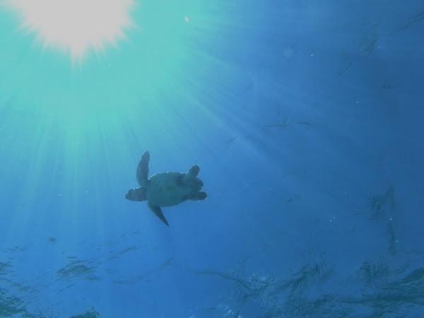 Tortuga boba nadando. © Hombre y Territorio