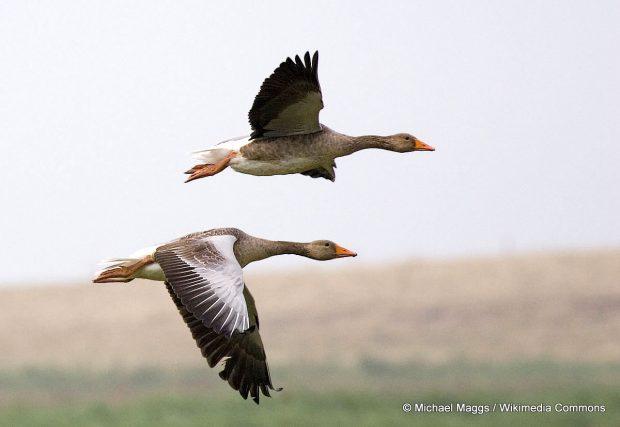 graylag_geese_anser_anser_in_flight_1700
