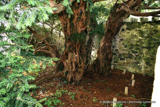 El turismo se está cargando a uno de los árboles más viejos de Europa