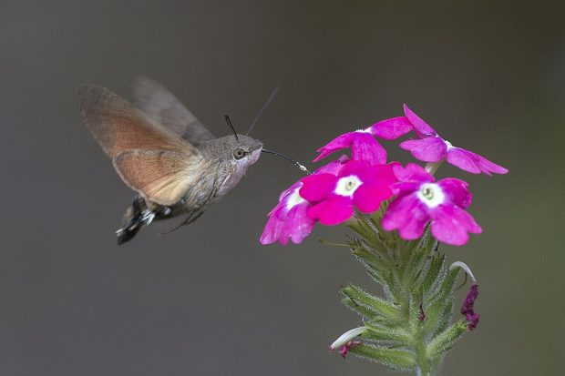 No Es Un Colibrí Pero Puede Convertirse En La Mariposa Del Año
