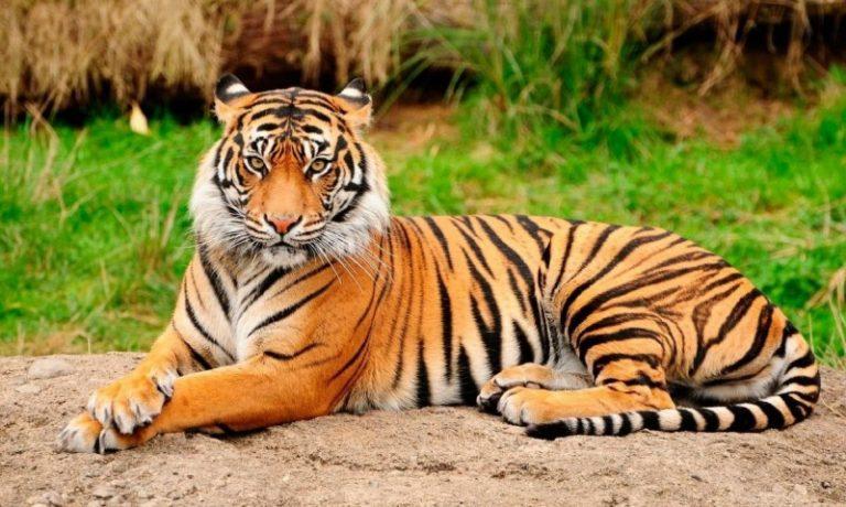 ¿Es posible en España dejar como herencia dos tigres? Respuesta afirmativa