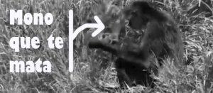 Mono planeando cómo liársela parda a El Dioni.