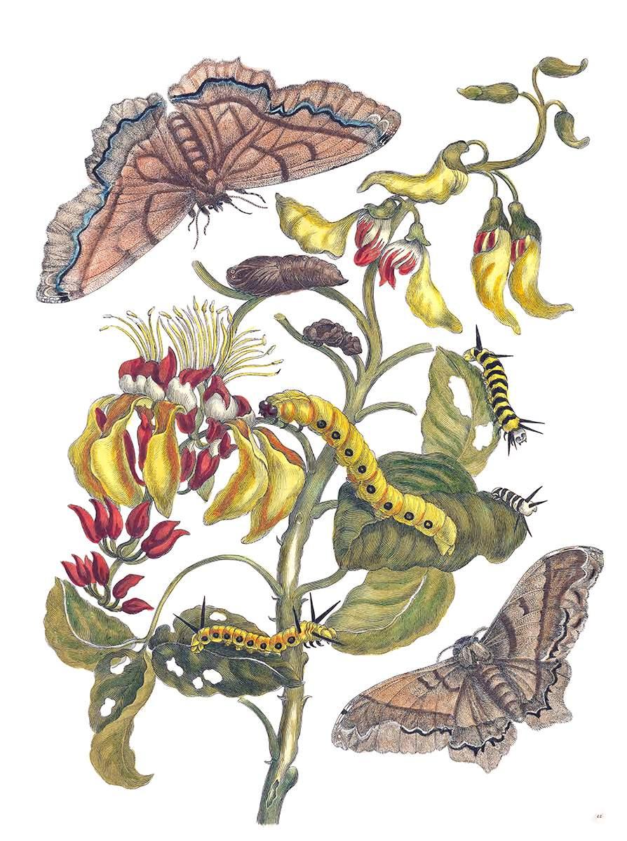 Diferentes fases de una 'Arsenuda armida', especie de polilla propia de américa, ilustrada por la pintora, naturalista y exploradora alemana Maria Sibylla Merian y publicada en un manual holandés de insectos en 1730