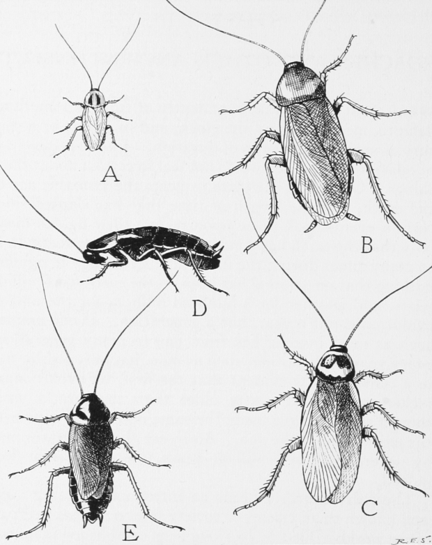 Cucharacha común. Dominio Público. Wikimedia Commons.