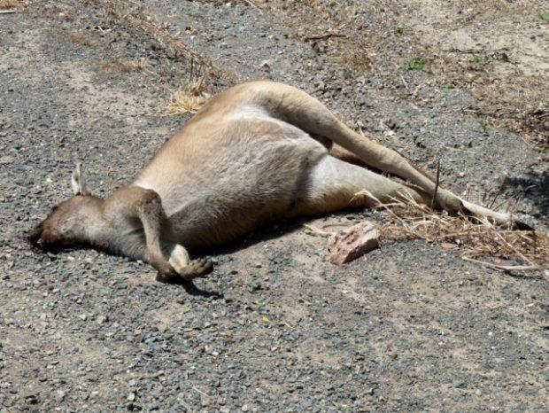 Canguro muerto en carretera australiana tras impactar con un vehículo. Wikimedia Commons.