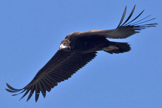 ¿Cuál es el ave de mayor envergadura en España?
