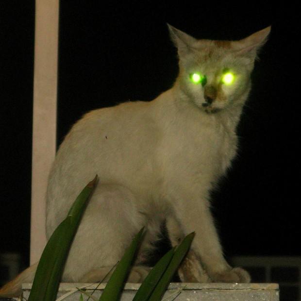 ¿Por qué a los gatos les brillan los ojos en la oscuridad?