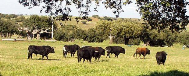 ¿Sabías que cuando un torero muere durante una corrida es sacrificada la madre y familia del toro?
