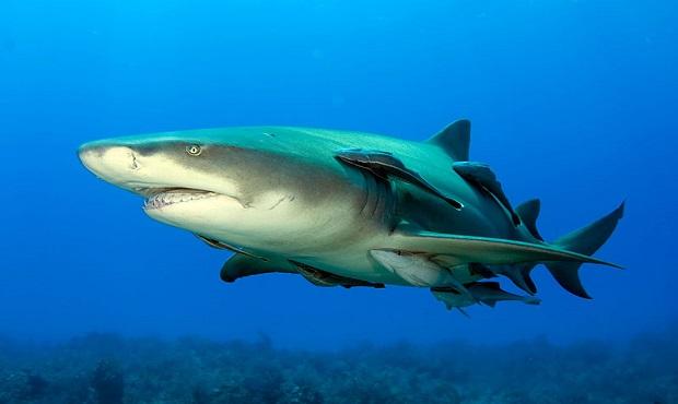 ¿Por qué el término 'rémora' es sinónimo de obstáculo o estorbo? ¿tiene algo que ver con el pez?