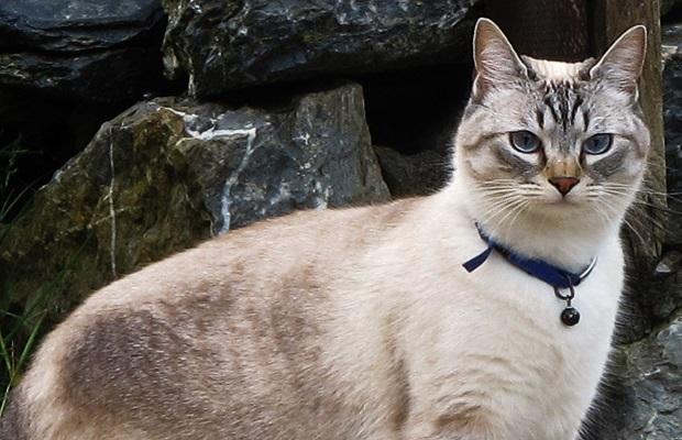 ¿Por qué no es una buena idea poner un cascabel a un gato?