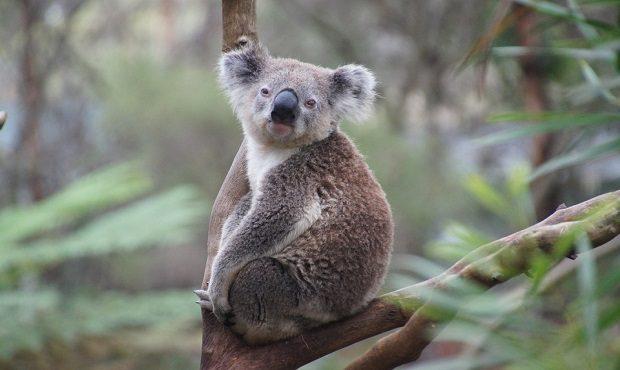 ¿Es cierto que los koalas no necesitan beber agua?