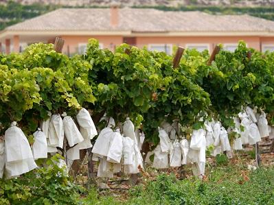Si la vendimia termina en octubre ¿cómo es posible que las uvas lleguen en tan buen estado hasta Nochevieja?