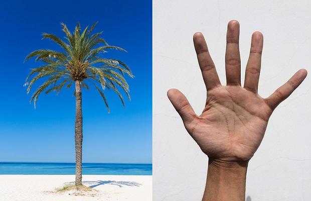 ¿Sabías que la palmera recibe su nombre porque recuerda a la palma de la mano abierta?