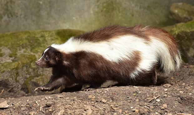 ¿De dónde surge llamar 'mofeta' al pestilente animal?