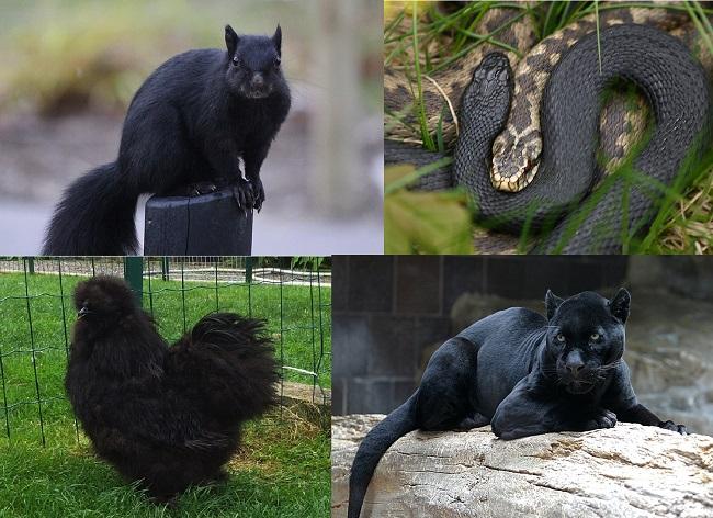 Melanismo, el curioso exceso de pigmentación que convierte a algunos animales en totalmente negros